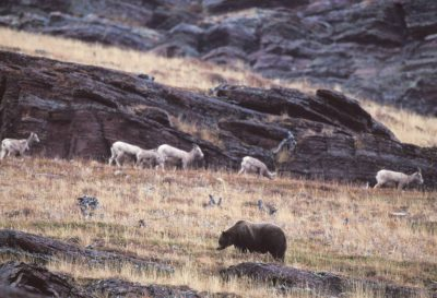 Photo: Bighorn sheep share space with a grizzly bear in Glacier National Park, Montana.