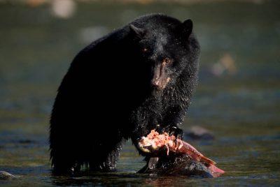 Photo: A black bear feeds on sockeye salmon on the Kennedy River, Vancouver Island, British Columbia, Canada.