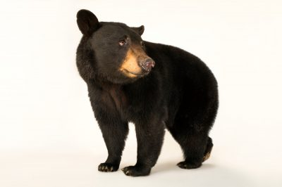 A federally threatened Louisiana black bear (Ursus americanus luteolus) at the Caldwell Zoo in Tyler, Texas.