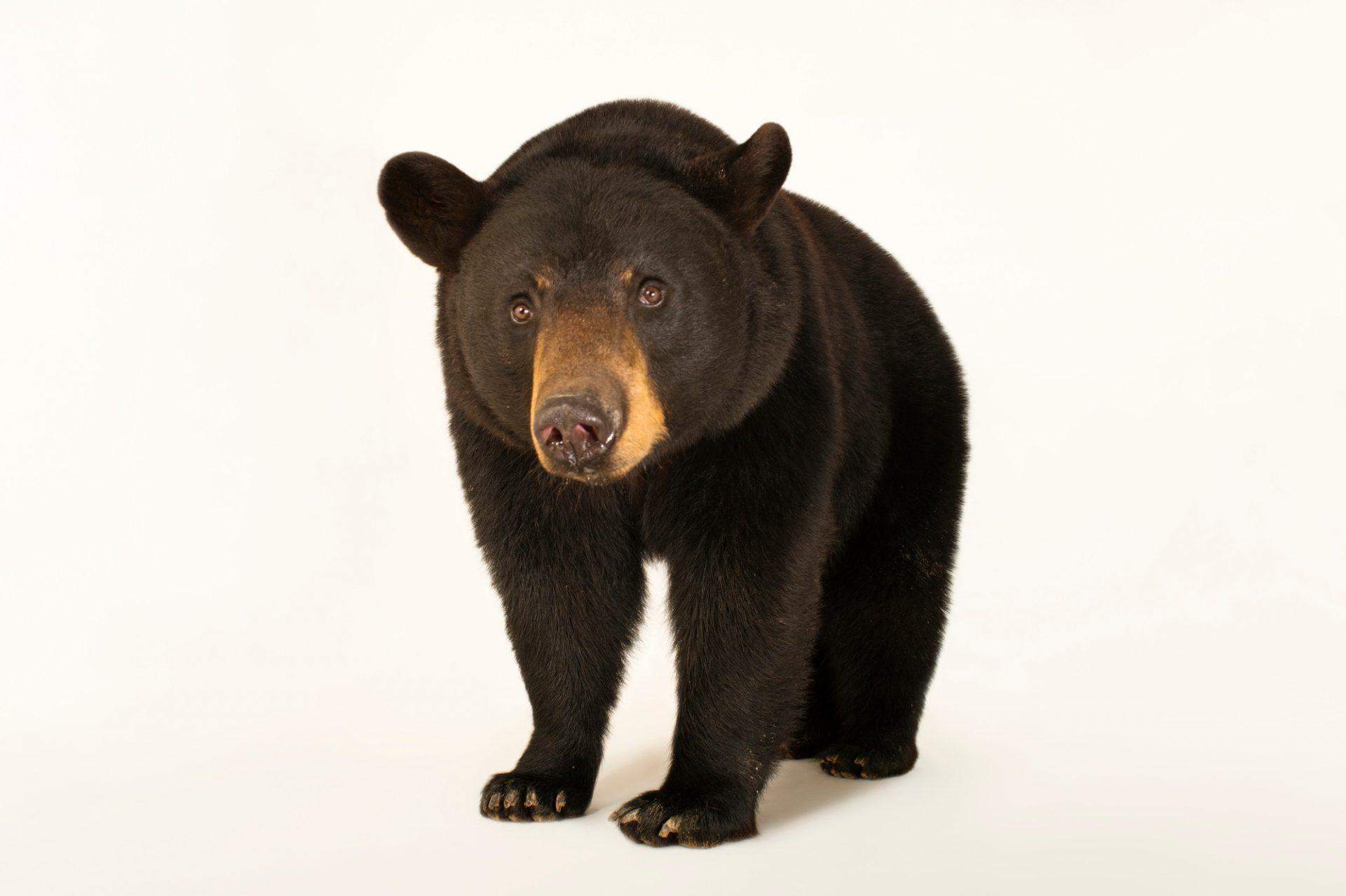 A federally threatened Louisiana black bear (Ursus americanus luteolus) at the Caldwell Zoo in Tyler, Texas.
