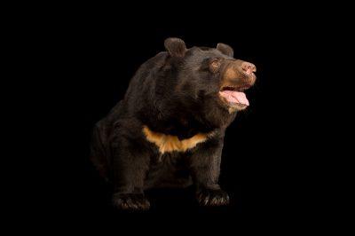 asiatic black bear images joel sartore