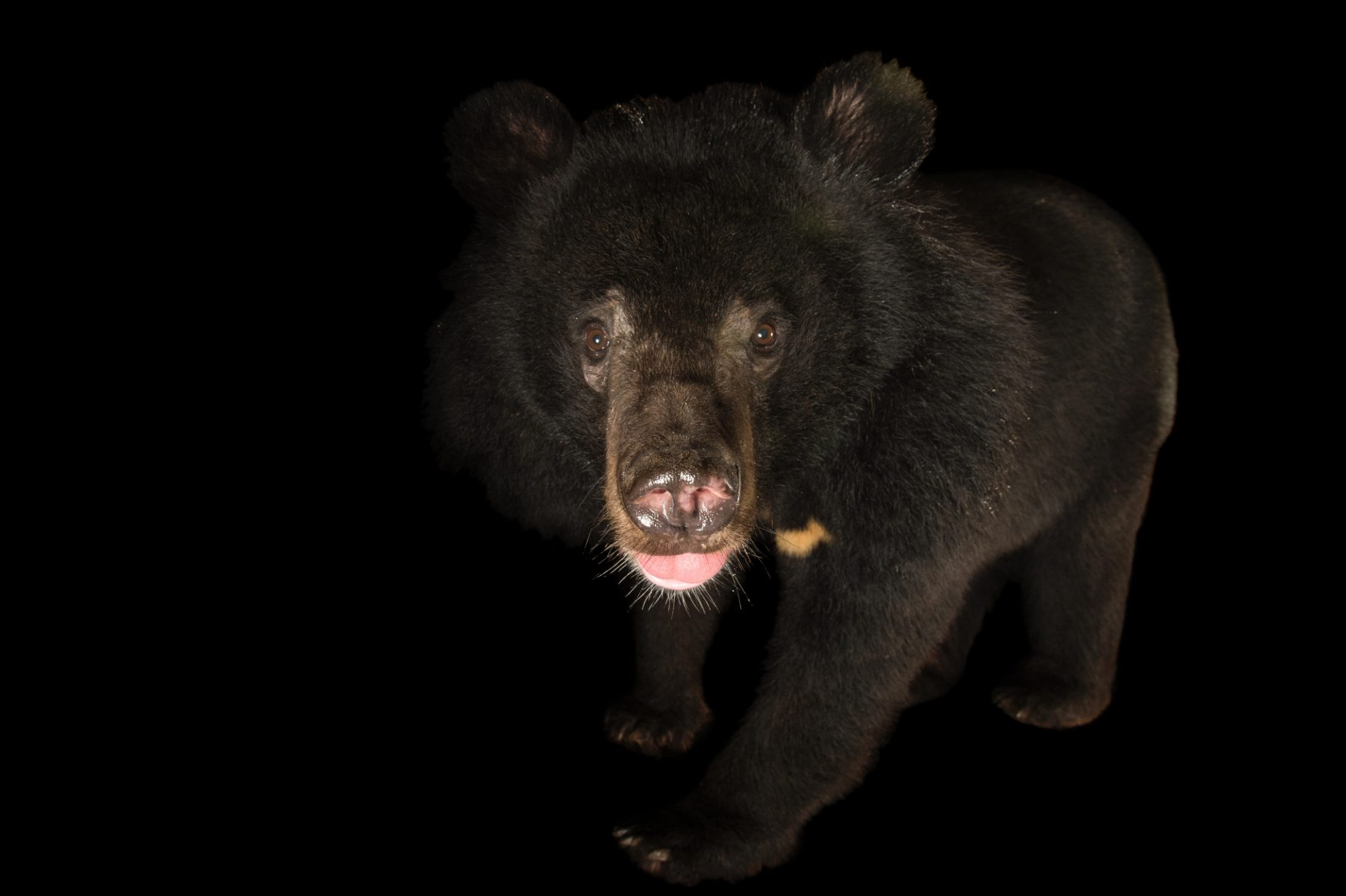 Photo: An Asiatic black bear (Ursus thibetanus) the Assam State Zoo cum Botanical Garden in Guwahati, Assam, India.