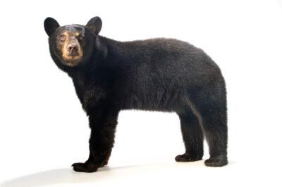 Photo: A Florida black bear (Ursus americanus floridanus) named Cheyenne at the Brevard Zoo.