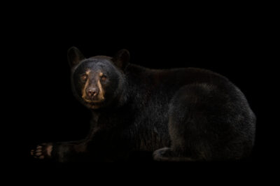 Photo: A Florida black bear (Ursus americanus floridanus) named Cheyenne at the Brevard Zoo.