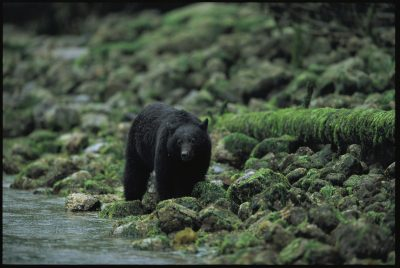Photo: Black bear fishing in Clayoquot Sound.