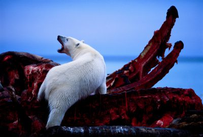 Photo: A polar bear feeds on the jaws of a bowhead whale harvested by natives along the coast of ANWR.