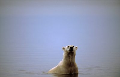 A vulnerable (IUCN) and federally threatened polar bear off the coast of Kaktovik, Alaska.