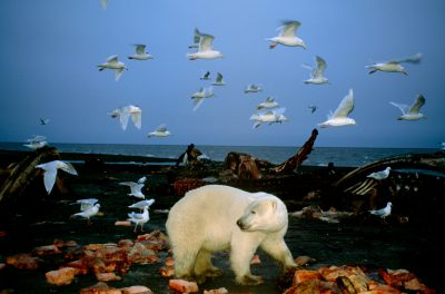 A vulnerable (IUCN) and federally threatened polar bear feeds on the remains of a bowhead whale harvested by natives along the coast of ANWR.
