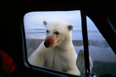 Photo: A polar bear, fresh from feeding on whale remains, peeks in the window of a truck near Kaktovik, Alaska.