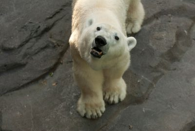 Photo: Polar bears at the Omaha Zoo.