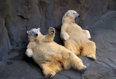 Photo: Polar bears relax at the Omaha Zoo.