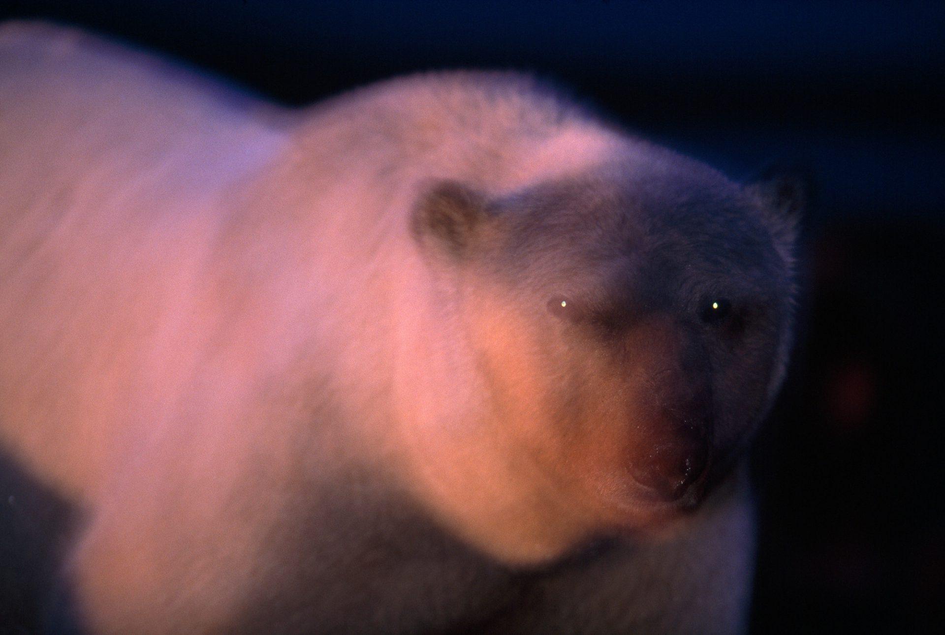 A polar bear (Ursus maritimus) moving about at twilight. (IUCN: Vulnerable, US: Threatened)