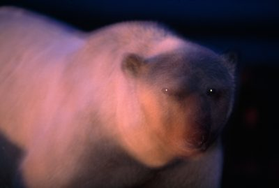 A polar bear (Ursus maritimus) moving about at twilight. (IUCN: Vulnerable, US: Threatened)