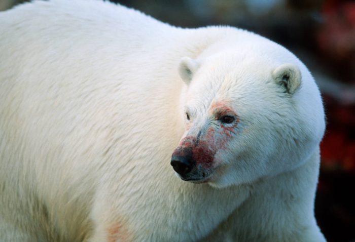Photo: A polar bear, fresh from feeding on the remains of a bowhead whale caught and butchered by Alaska natives on the North Slope.