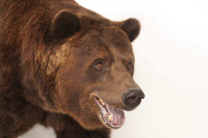 A grizzly bear (Ursus arctos horribilis) at the Sedgwick County Zoo.