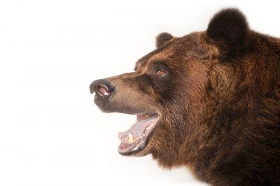 Picture of a grizzly bear, Ursus arctos horribilis, at Sedgewick County Zoo.