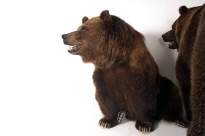 Picture of grizzly bears (Ursus arctos horribilis) at the Sedgwick County Zoo.