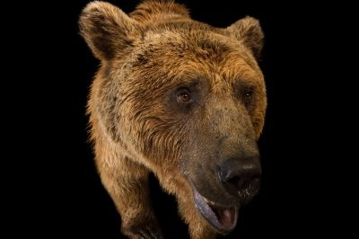Picture of a vulnerable Syrian brown bear (Ursus arctos syriacus) at the Budapest Zoo.