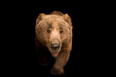 Photo: Himalayan brown bear (Ursus arctos isabellinus) at Himalayan Nature Park in Kufri.