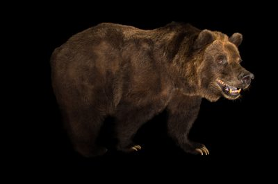 Picture of a grizzly bear (Ursus arctos horribilis) at the Sedgwick County Zoo.