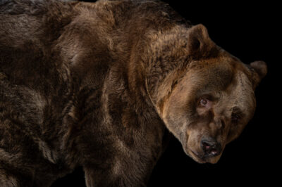 Photo: A European brown bear (Ursus arctos arctos) at Plzen Zoo in the Czech Republic.