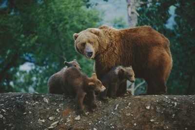 Photo: A mother grizzly bear looks over her shoulder as her cubs sit at her feet.