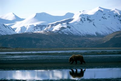 Photo: A lone grizzly bear in Katmai National Park.