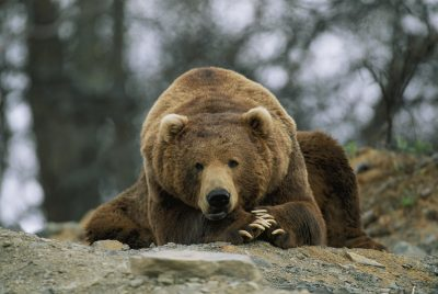 Photo: A grizzly bear at rest on the edge of the Larson Bay dump.
