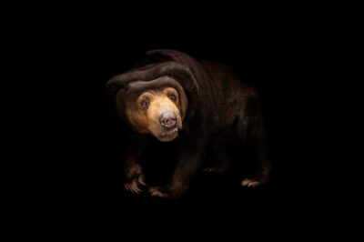 A vulnerable Malayan sun bear (Helarctos malayanus malayanus) at the Miller Park Zoo in Bloomington, Illinois.