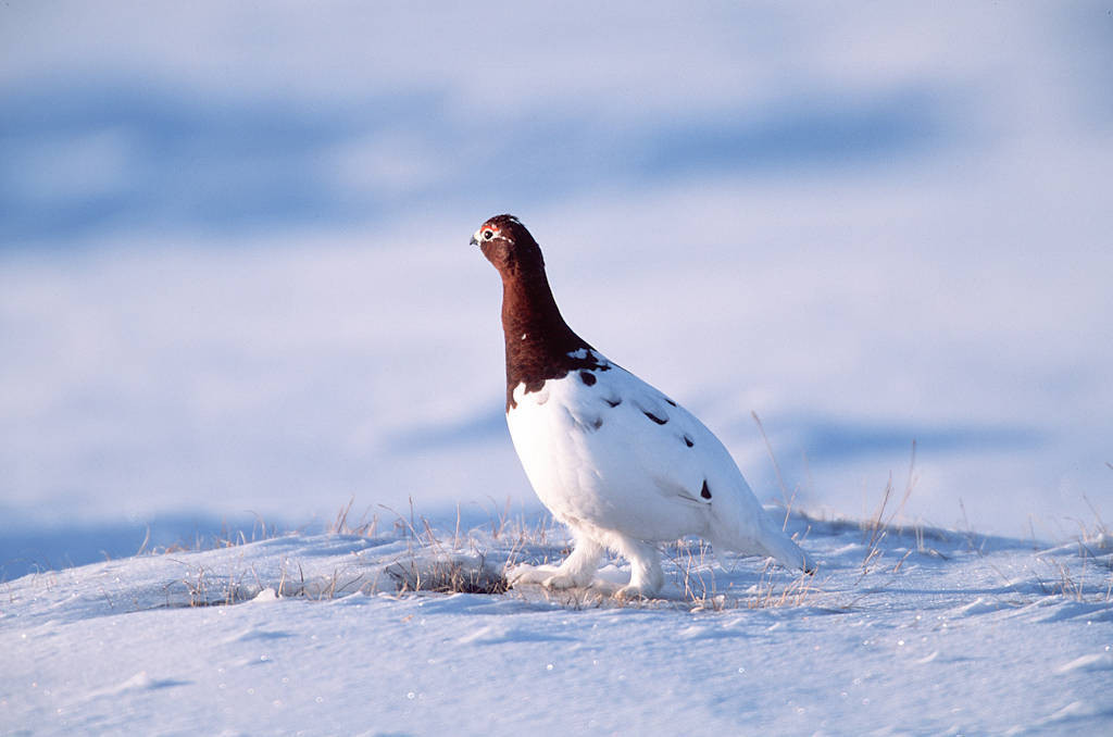 Photo: Ptarmigan with winter coloring at Prudhoe Bay, Alaska.