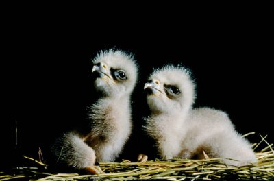 Photo: Bald eagle chicks at the Sutton Avian Research Center near Bartlesville, OK. They were hatched in captivity as part of the Bald Eagle Recovery Act.