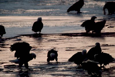 Photo: Bald Eagles pick fish out of the shallows at the McNary Damnear Ogallala, NE, on the Platte River.