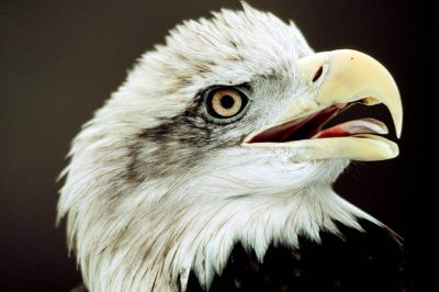 Photo: American bald eagle.