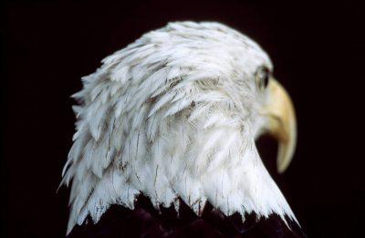 Photo: American bald eagle.