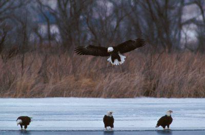 Photo: Bald eagles feed on fish stunned by the turbines in Ogallala, Nebraska's Kingsley Dam.