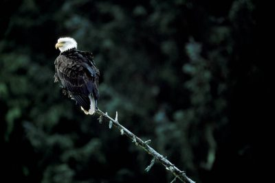 Photo: Bald eagle in Clayoquot Sound (Vancouver Island), British Columbia, Canada.