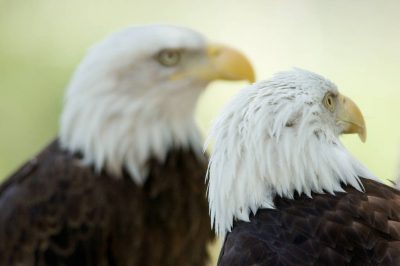 Photo: Captive bald eagles at Zoo Montana.