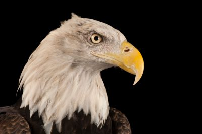 A portrait of a bald eagle (Haliaeetus leucocephalus).