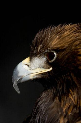 A golden eagle (Aquila chrysaetos canadensis) named Bubba from Nebraska.