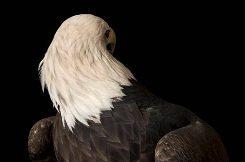 A bald eagle (Haliaeetus leucocephalus) named Bensar at the George M. Sutton Avian Research Center.