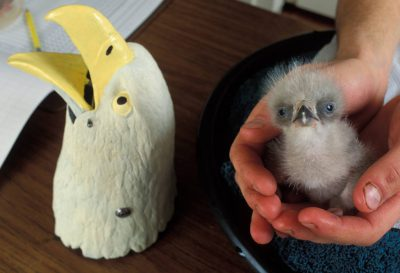 Photo: A bald eagle chick is fed by a hand puppet at the Sutton Avian Research Center's incubation room near Bartlesville, OK. This chick was hatched in captivity as part of the Bald Eagle Recovery Act.