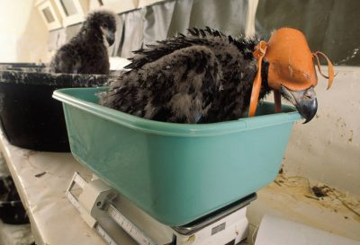"Photo: A bald eagle chick is weighed by workers wearing ""ghost costumes"" at the Sutton Avian Research Center's incubation room near Bartlesville, OK. This chick was hatched in captivity as part of the Bald Eagle Recovery Act. After the chick is seven days old, it will never see nor hear its human host in order to keep the bird wild."