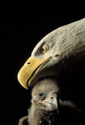Photo: A bald eagle chick with its surrogate mother, a hand puppet resembling an adult bald eagle, at the Sutton Avian Research Center near Bartlesville, Oklahoma.