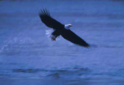 Photo: At Lake Ogallala, a hydroelectric plant keeps stunned bait fish in supply all through the winter, attracting bald eagles and water fowl.