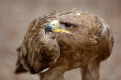 Photo: Tawny eagle (Aquila rapax) at the Wild Bird Sanctuary near St. Louis.