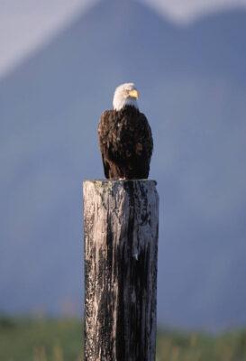 Photo: A bald eagle on Adak Island in Alaska.