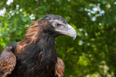 A wedge-tailed eagle (Aquila audax audax).