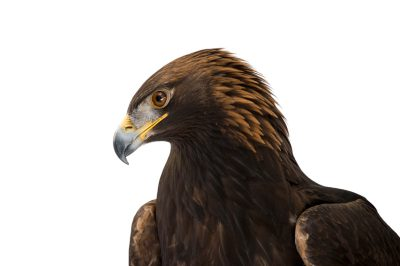 Picture of a golden eagle (Aquila chrysaetos) named Zephyr at the Point Defiance Zoo.