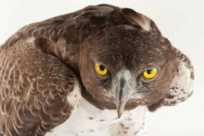 Martial eagle (Polemaetus bellicosus) at Tampa's Lowry Park Zoo.