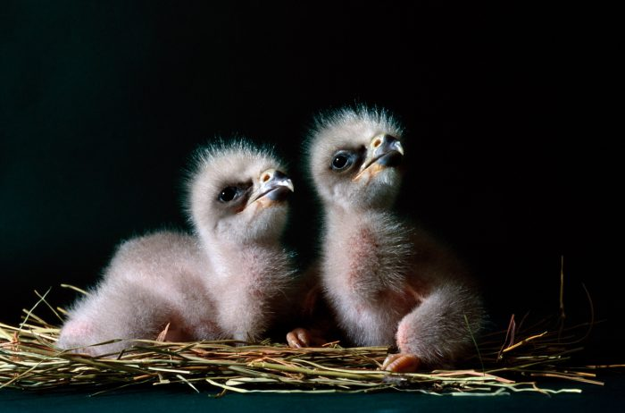 Bald eagle chicks at the Sutton Avian Research Center near Bartlesville, OK. They were hatched in captivity as part of the Bald Eagle Recovery Act.